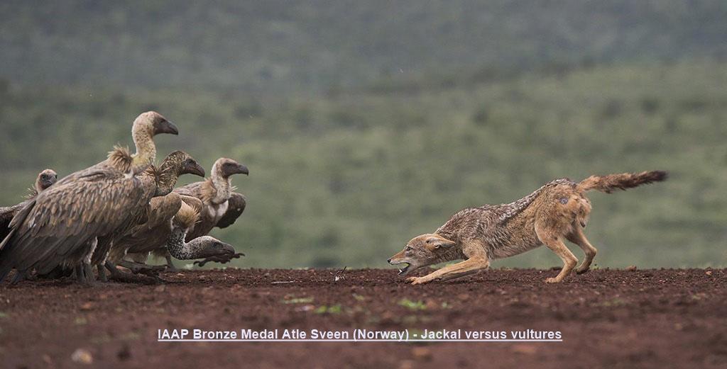 NA5-IAAP Bronze Medal Atle Sveen (Norway) - Jackal versus vultures.jpg
