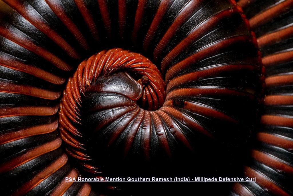 NA10-PSA Honorable Mention Goutham Ramesh (India) - Millipede Defensive Curl.jpg