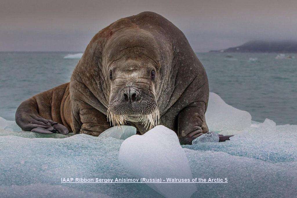 NA13-IAAP Ribbon Sergey Anisimov (Russia) - Walruses of the Arctic 5.jpg
