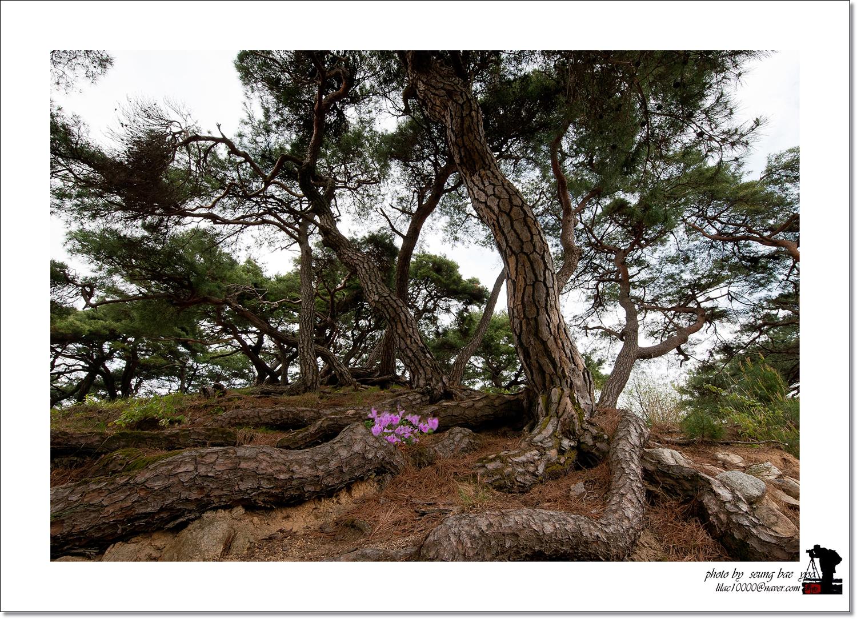 소나무(공생).jpg