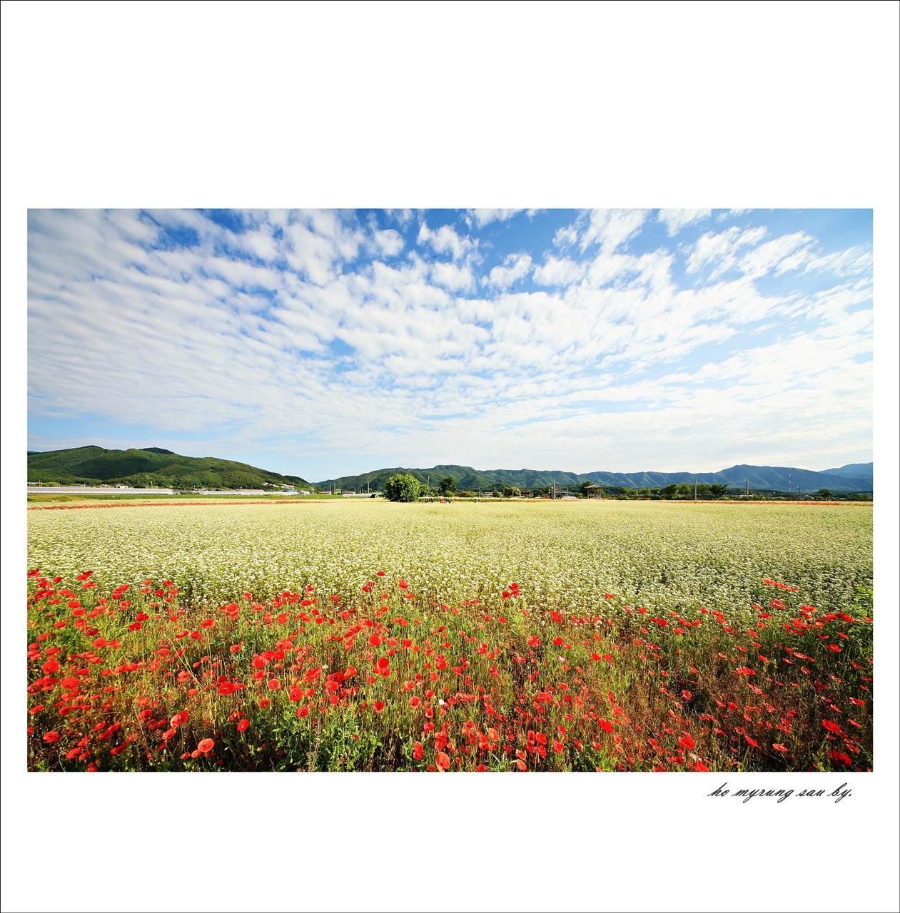 메밀꽃밭.jpg