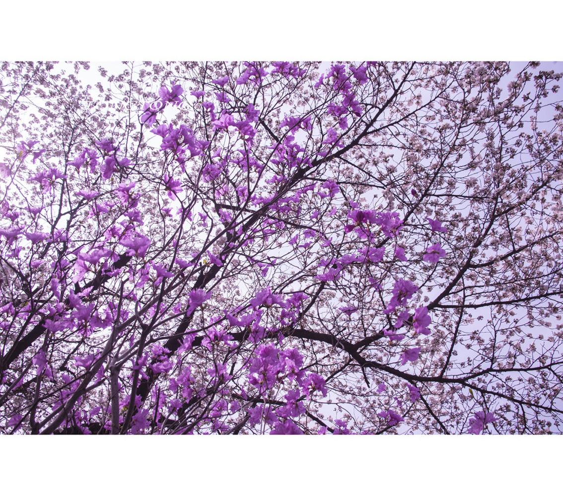 낭만 진달래와 벚꽃.jpg